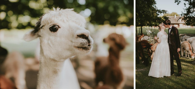 vestuviu fotosesija su alpakomis